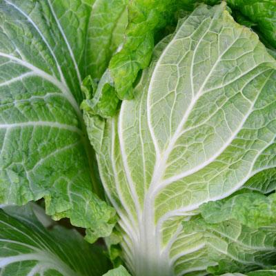 三和農場のくにうみ野菜「白菜」